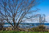 picture of stonewalled  - Stonewall and tree at the coast of Baltic Sea - JPG