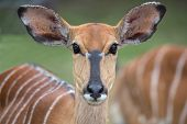 stock photo of enormous  - Gentle Nyala antelope with enormous eyes and doe eyed look - JPG
