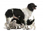 stock photo of breastfeeding  - Stabyhoun Mom breastfeeding her puppies - JPG
