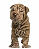 pic of shar-pei puppy  - Front view of a Shar Pei puppy standing - JPG