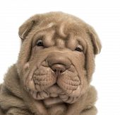image of shar-pei puppy  - Close - JPG