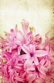 Pink hyacinth on vintage background