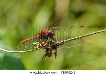 Broad Scarlet Darter