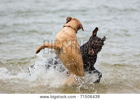 Two Labrador Retriever Dogs Playing In The Waves