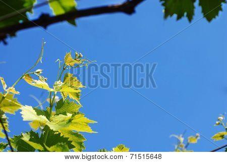 Vine Twig