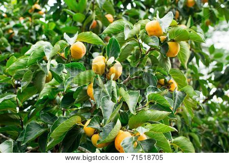 Persimmon Fresh Fruit On Tree