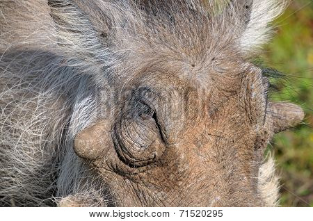 Warthog Close-up