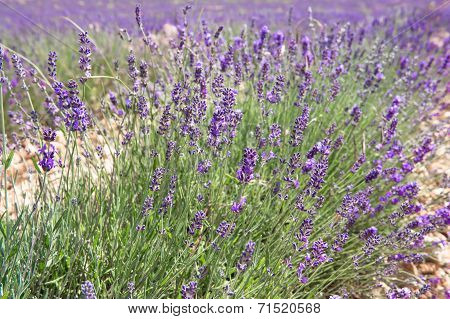 Blossoming Of Lavender Flowers In Valensole, Provence