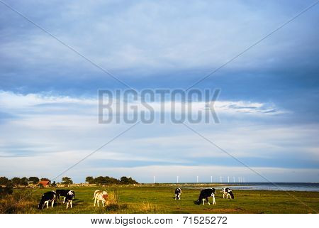 Grazing Cattle And Wind Turbines