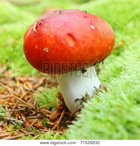 The Shrimp mushroom or the Crab brittlegill (Russula xerampelina) - edible mushroom. It is used also in mixed mushroom dishes, fried or steamed.