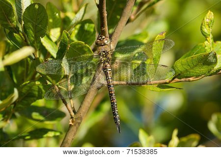 Female Migrant Hawker Dragonfly