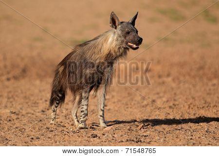 Alert brown hyena (Hyaena brunnea), Kalahari desert, South Africa