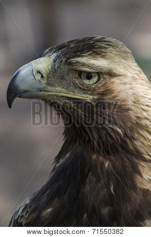 raptor, eagle brown plumage and pointed beak