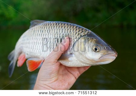 Big chub in fisherman's hand shot against river shore