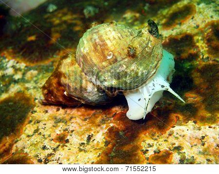 Gastropoda mollusc