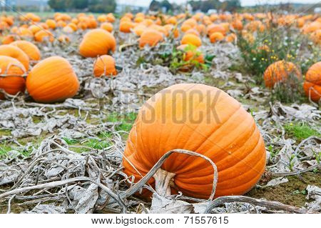 Pumpkin Field With A Lot Of Big Pumpkins