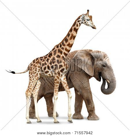 giraffe with elephant isolated on white