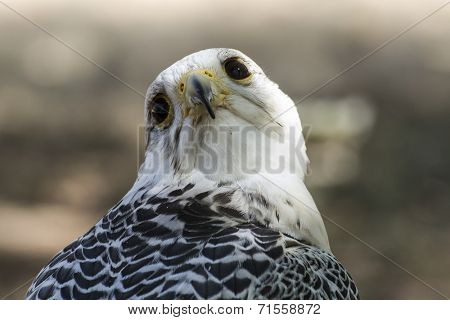 prey, beautiful white falcon with black and gray plumage