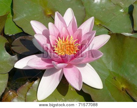Waterlily Pink And Orange In The Pond