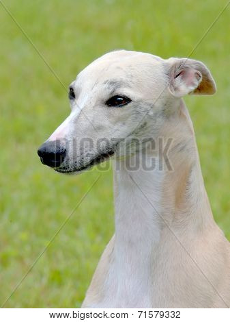 White Whippet In The Garden