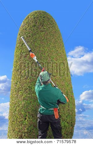 Gardener Trimming Thuja With Hedge Clippers