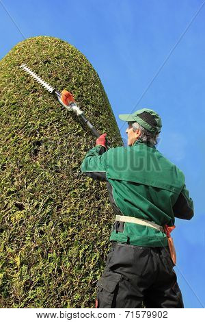 Craftsman Trimming Thuja With Hedge Clippers