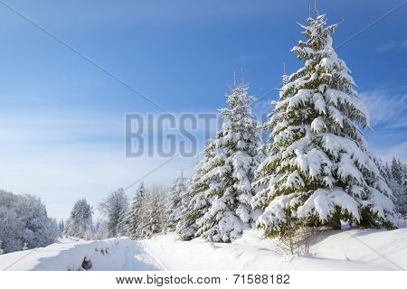 Winter landscape with high spruces and snow at dawn
