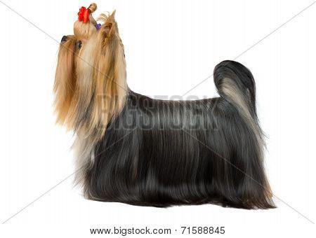 Groomed Yorkshire Terrier