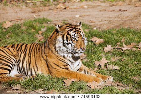 Tiger resting on the grass