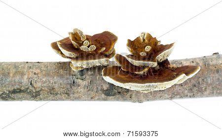 Mushroom Polypore
