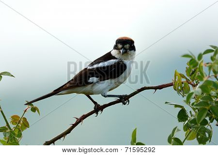 The woodchat shrike (Lanius senator) in natural habitat perched on branch