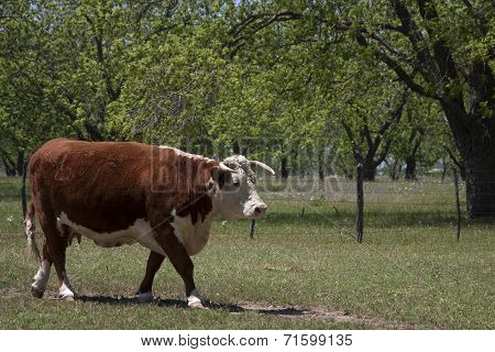 Brown Cow Walking