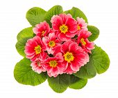 pic of primrose  - pink primulas isolated on white background - JPG