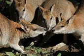 stock photo of wallabies  - A mob of wallabies eat closely together - JPG