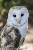 stock photo of hedwig  - White - JPG