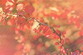 pic of barberry  - A branch of the ripe berries of barberry - JPG