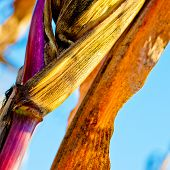 stock photo of corn stalk  - Corn closeup on the stalk. Detail of dried corncob on the field ready for autumn harvesting.