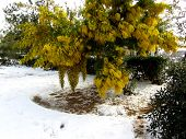 picture of mimosa  - Mimosa tree in the snow - JPG