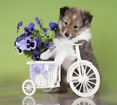 picture of sheltie  - Sheltie puppy on a bicycle - JPG