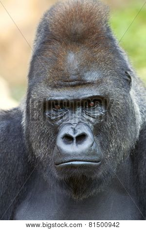 Closeup Portrait Of A Gorilla Male On Rock Background.