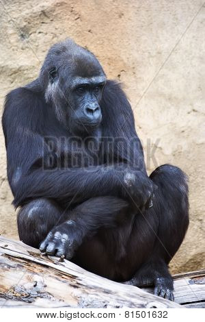 A young gorilla female with low state in the monkey family on rock background.