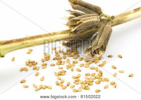 Sesame seeds and stem