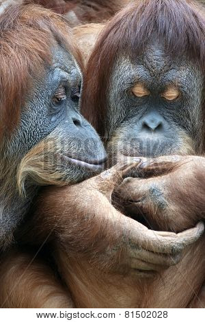 Wild Tenderness Among Orangutan.