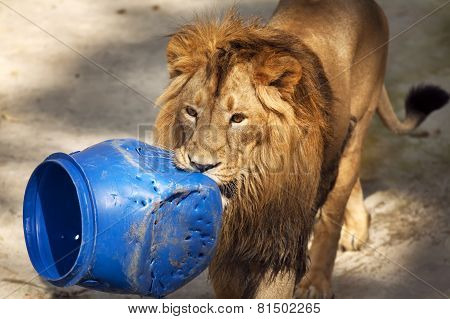 Young asian lion is carrying the blue plastic tun.