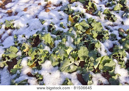 Rapeseeds Plant Seedling Leaves In Winter Covered Snow