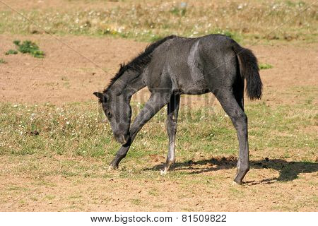 Pretty Little Foal Grazing Alone On Pasture