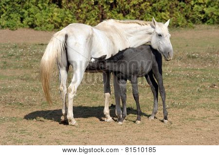 Thoroughbred Mare And Foal Breastfeeding In The Field