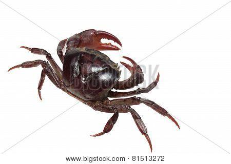 Crab. Field crab