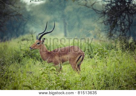 A Portrait Of A Beautiful Male Impala Ram.tarangire National Park - Wildlife Reserve In Tanzania, Af