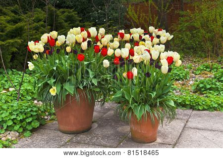 A trio of tulip planters in springtime.